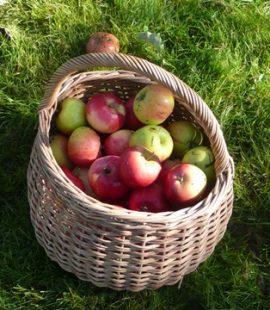 Epler fra den historiske frukthagen. Foto: Kathrine Sandstrøm Østfoldmuseene